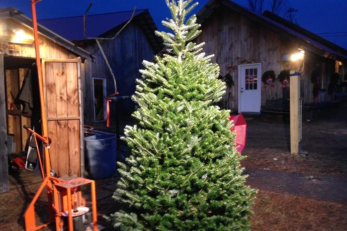 white's tree farm_-6803532734690932467