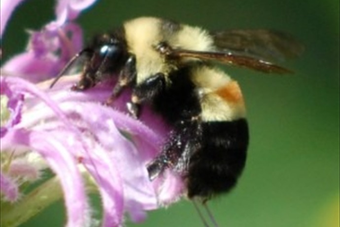 Rusty-Patched Bumble Bee (GEN)_7965873753617682003