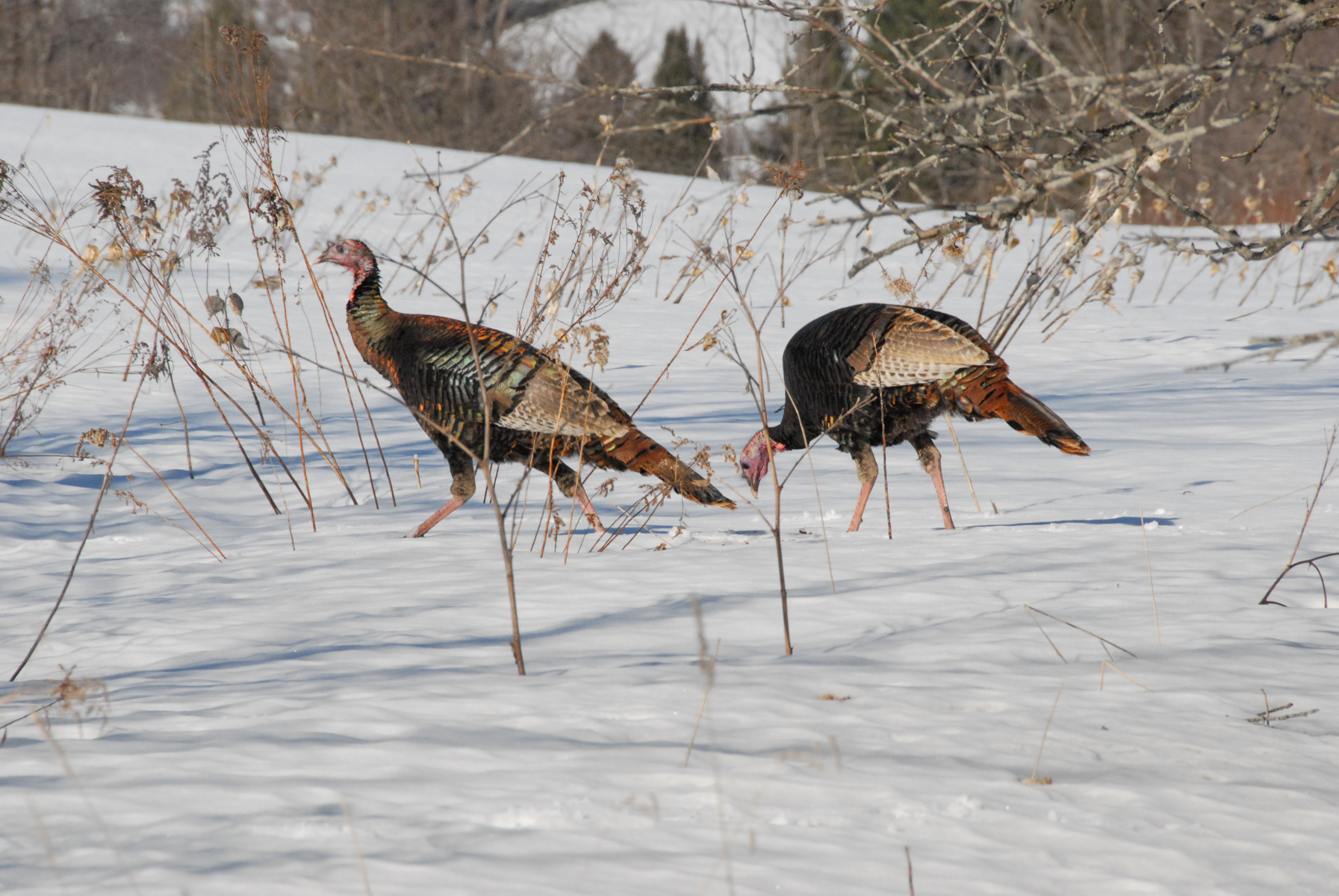 Turkey Hunting Snow (GEN)