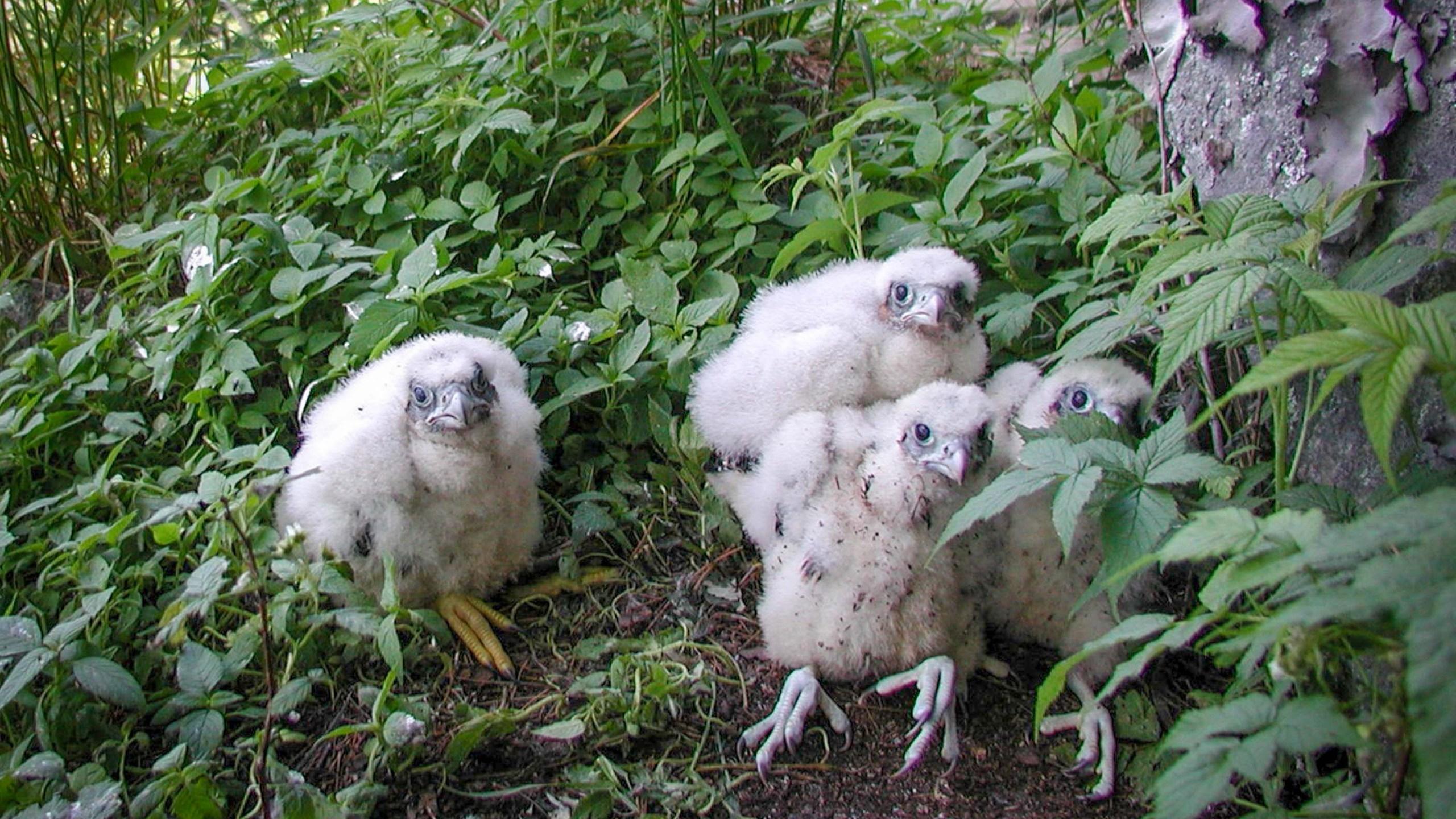 Peregrine chicks, Steven Faccio-2_1462986740637.jpg