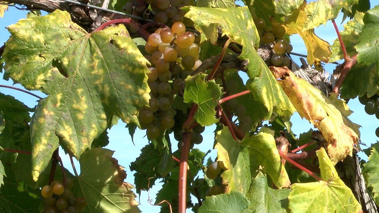 Grapes _1474926885189.jpg