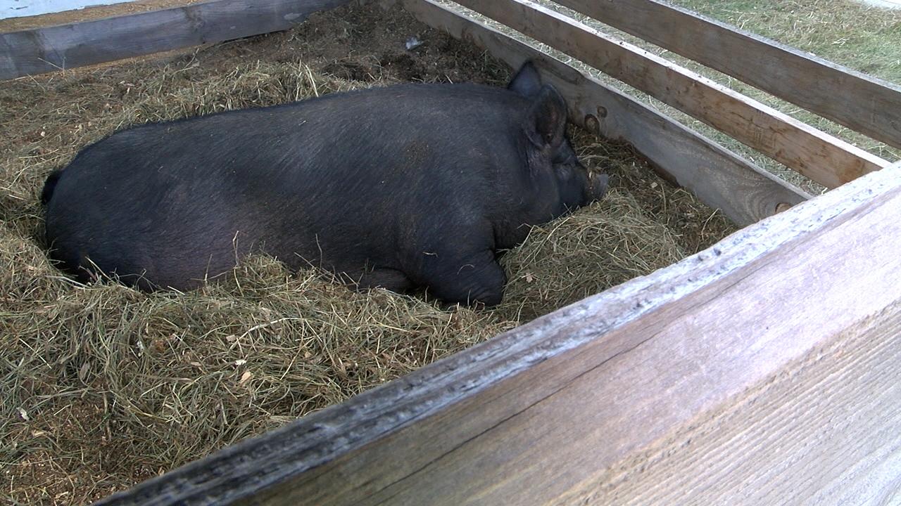 EBONY THE PIG_1502057183813.jpg