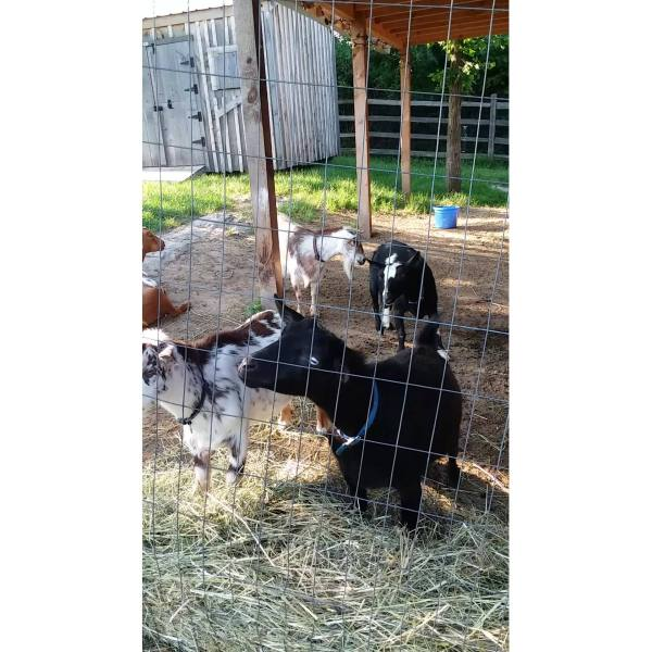 South Burlington goats beat the heat!