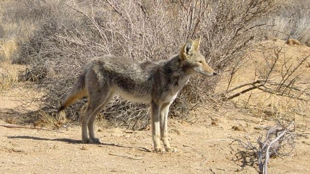Coyote_3770971061761833-159532